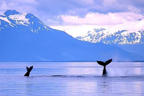 Alaskada balinalar
