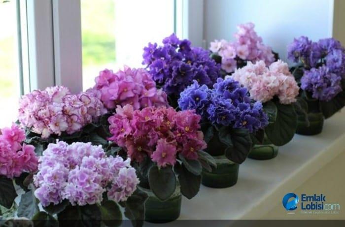 Ev Saksı Bitkileri