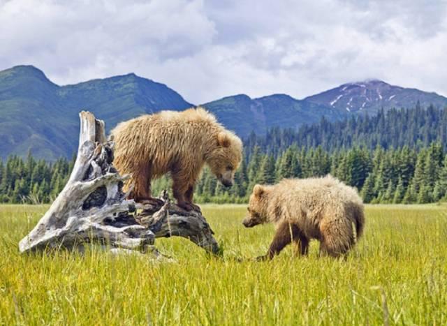 Alaska'da vahşi yaşam